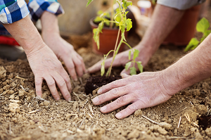 two hands shown planting a plant